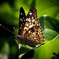 Sunlit Butterfly by Karen Scovill