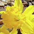 Sunlit Daffodil Flower Spring Rock Garden Baslee Troutman by Baslee Troutman