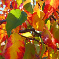 Sunlit Fall Leaves by Amy Vangsgard