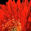 Sunlit Gerbera by Clare Bambers