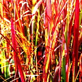 Sunlit Grass by Laurel Talabere