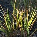 Sunlit Grass by Ric Bascobert
