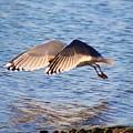 Sunlit Gull Wings by Karen Silvestri