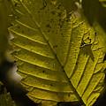 Sunlit Leaf by Robert Ullmann