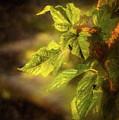 Sunlit Leaves by Wendy Elliott