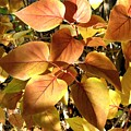 Sunlit Lilac Leaves by Will Borden