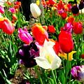 Sunlit Tulips by Ed Weidman