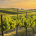 Sunlit Vineyard by Sharon Foster