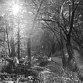 Sunlit Woods, West Dipton Burn by Iain Duncan