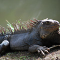 Sunning Gray Iguana Sitting Beside Water by DejaVu Designs