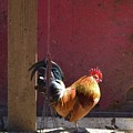 Sunning Rooster by Barrie Stark
