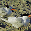 Sunning Terns by D Hackett