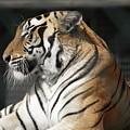 Sunning Tiger by Jim Allsopp