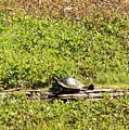 Sunning Turtle In Swamp by Carol Groenen
