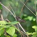 Sunning Zebra Longwing Butterfly by JR Cox
