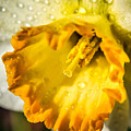 Sunny Daffodil by Claudia M Photography