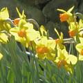 Sunny Daffodils by Susan  Lipschutz