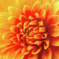 Sunny Dahlia by Garry Gay