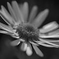 Sunny Daisy Black And White 2 by Mo Barton