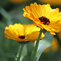 Sunny Day Flowers by Suzanne Gaff