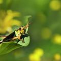 Green Grasshopper by Christina Rollo