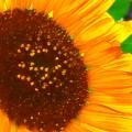 Sunny  by Jenny Revitz Soper