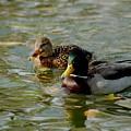 Sunny Mallard Ducks by D Nigon
