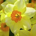 Sunny Narcissus by Phyllis Denton