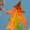 Sunny Oak Leaf by Melinda Marsh