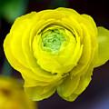 Sunny Ranunculus by Valerie Fuqua