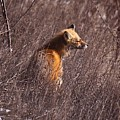 Sunny Soaked Fox by Robert Pearson