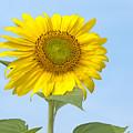 Sunny Sunflower by Ann Horn
