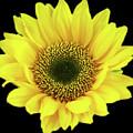 Sunny Sunflower Black Yellow by Brigite Inevil