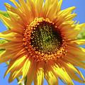 Sunny Sunflower Square by Christina Rollo