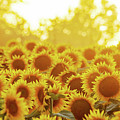 Sunny Sunflower Sunset by Kevin Anderson