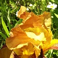 Sunny Wine Iris With Daisies by Sam Klingensmith