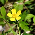 Sunny Yellow Buttercup by Cynthia Woods