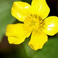 Sunny Yellow Cinquefoil by Cynthia Woods