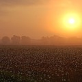 Sunrise And The Cotton Field by Michael Thomas