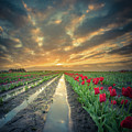 Sunrise At Tulip Filed After A Storm by William Freebilly photography