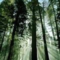 Sunrise Beams N Sequoia by Rick Pham