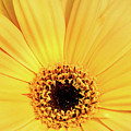 Sunrise Gerbera by Don Johnson