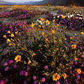 Sunrise On Desert Wildflowers by Tim Laman