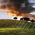 Sunrise Vineyard by Sharon Foster