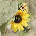 Last Sunflower by Cindy Garber Iverson