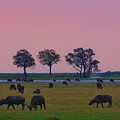 Sunset Grazing  by Stacie Gary