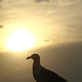 Sunset Gull by Kim