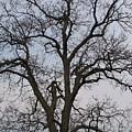 Sunset Hickory Tree by Kathryn Goszinski