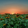 Sunset Over A Sunflowers Field by Uri Baruch