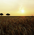 Sunset Over Cornfield by Neil Finnemore